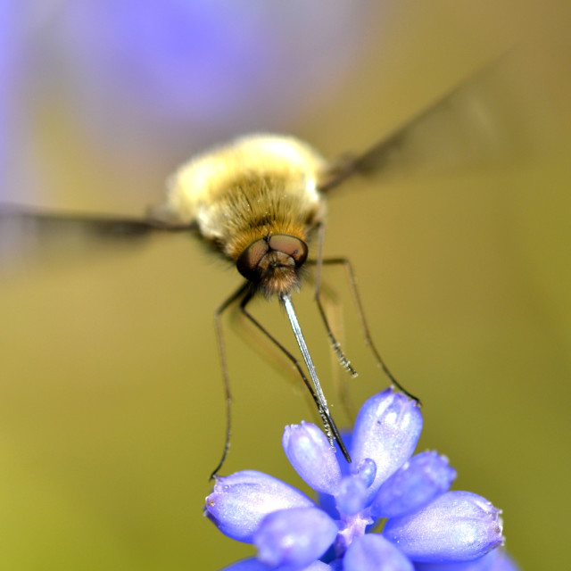 """""""A Beefly"""" stock image"""