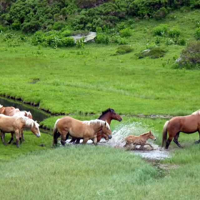 """""""Horses crossing a river"""" stock image"""