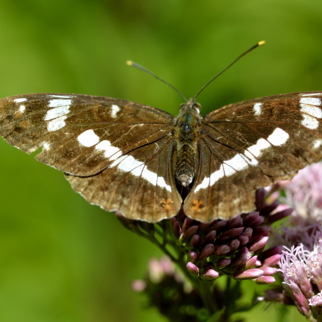 """""""A White admiral butterfly"""" stock image"""