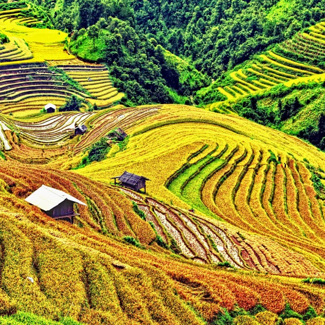 """Rice terrace field"" stock image"