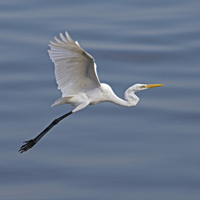 """Great White Egret (Ardea alba) (IX)"" stock image"