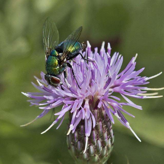 """Green Bottle Fly on Thistle Head"" stock image"
