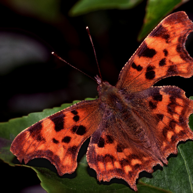 """""""Comma Butterfly at rest"""" stock image"""