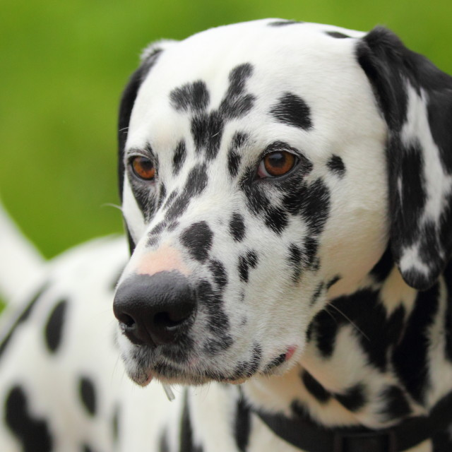 """Spotted Dalmatian"" stock image"