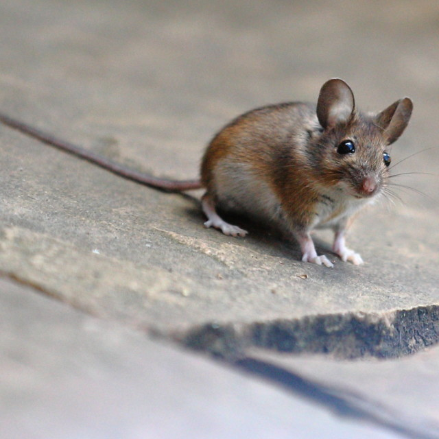 """A Mouse"" stock image"