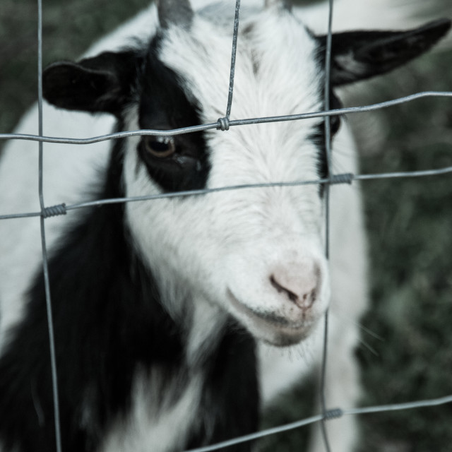 """""""Goat Behind a Fence"""" stock image"""