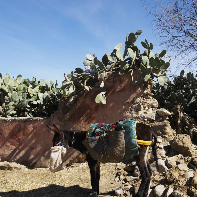 """Donkey in the Atlas mountains, morrocco"" stock image"