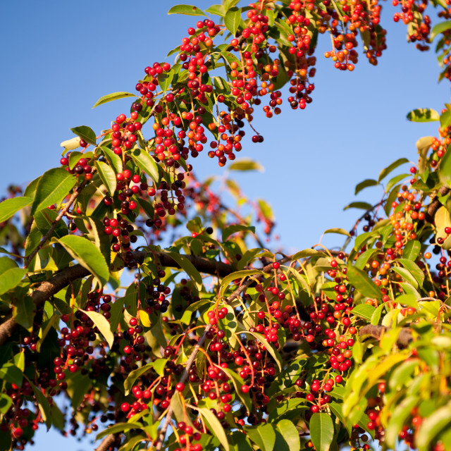 """Prunus serotina red fruits clusters"" stock image"