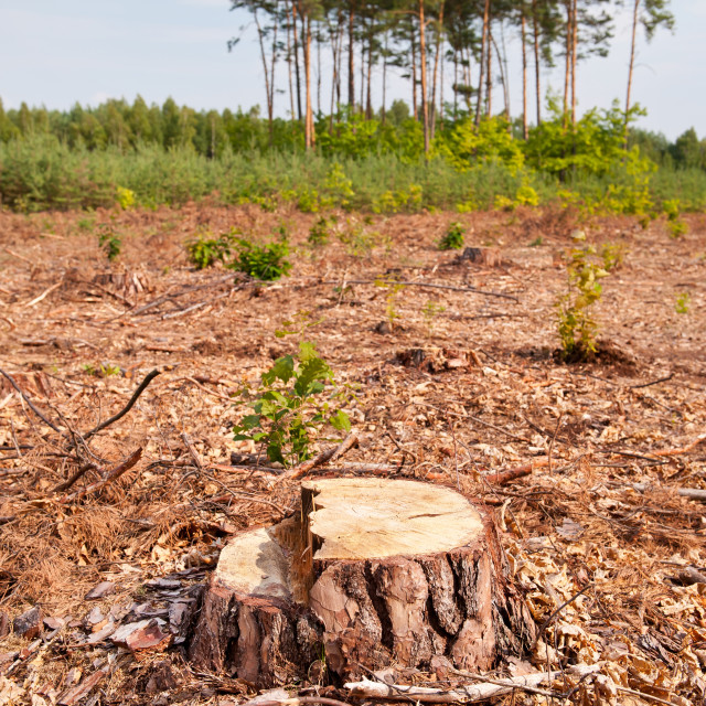 """Woods lone stump after deforestation"" stock image"