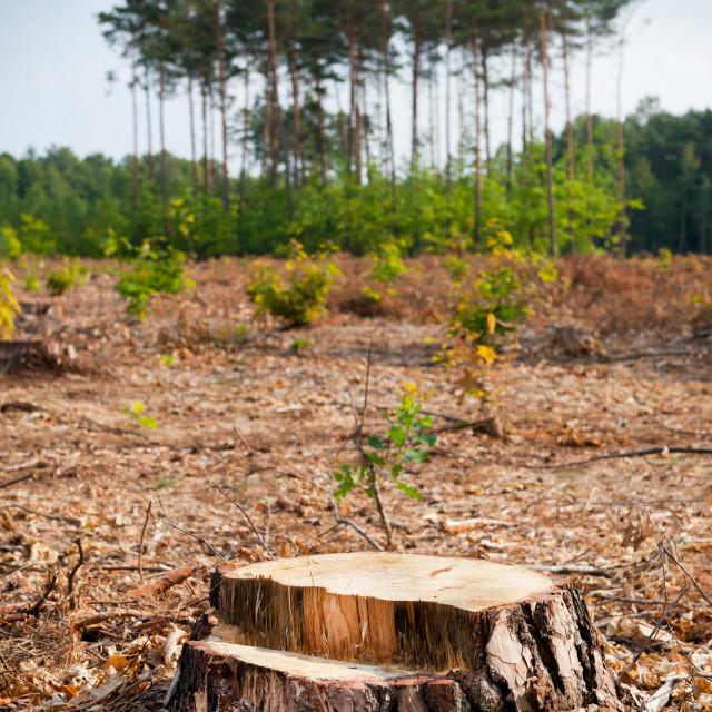 """""""Woods logging one stump after deforestation"""" stock image"""