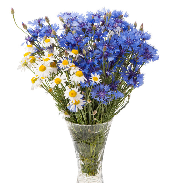 """""""White camomile and blue cornflower in glass vase"""" stock image"""