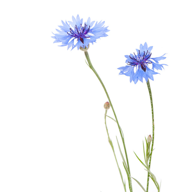 """""""Two blue cornflower flowers isolated on white"""" stock image"""