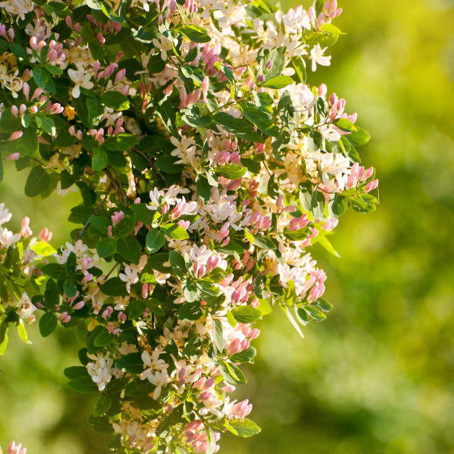 """Lonicera tatarica flowering shrub"" stock image"
