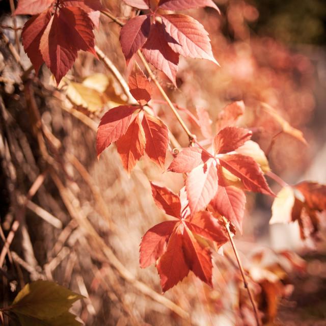 """""""Parthenocissus quinquefolia vine red leaves"""" stock image"""