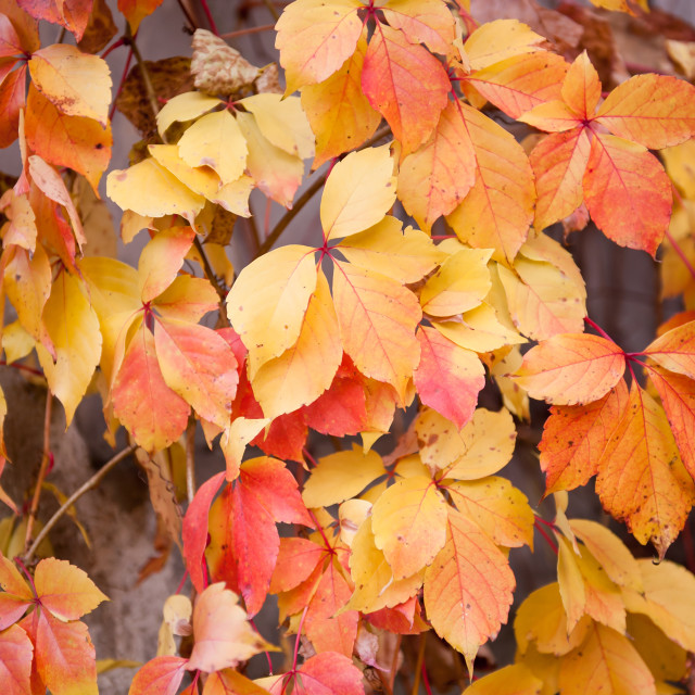 """""""vine yellow red leaves"""" stock image"""