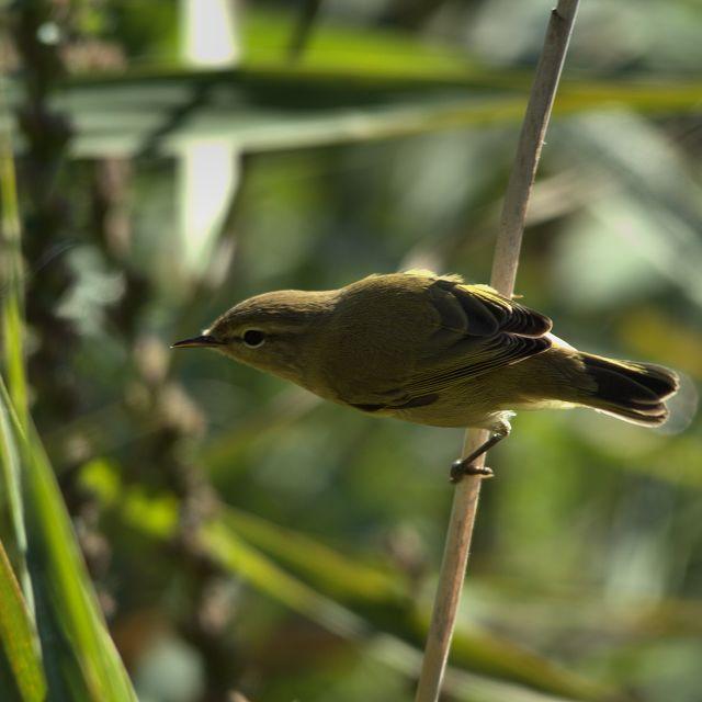 """""""Marsh Warbler"""" stock image"""