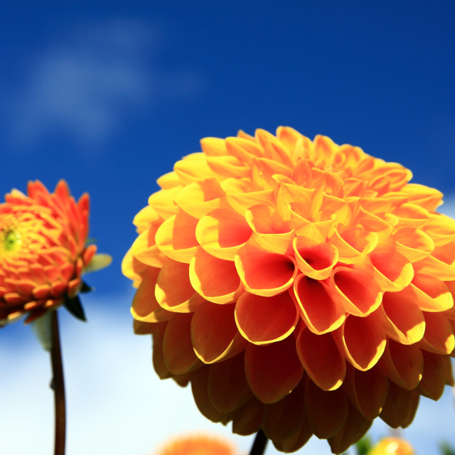 """Dahlia flower"" stock image"