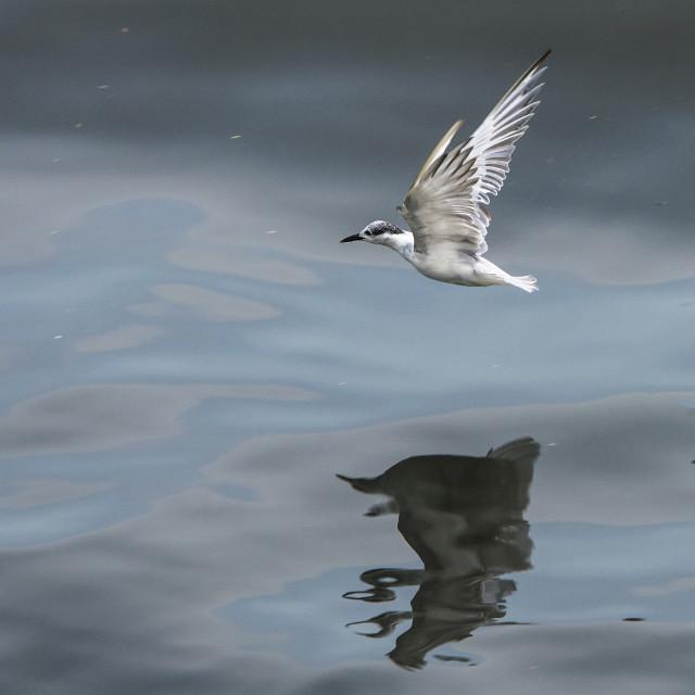 """""""Juvenile Tern"""" stock image"""