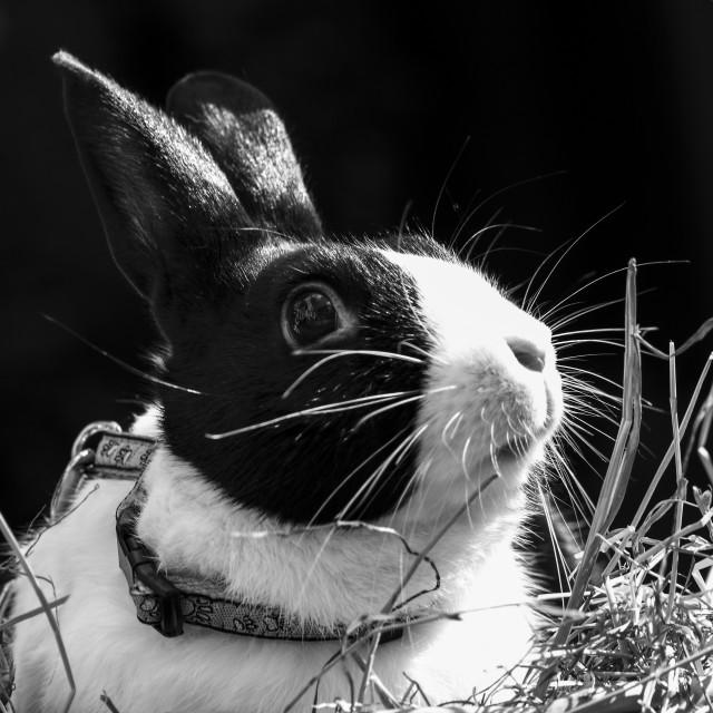 """Dutch rabbit"" stock image"