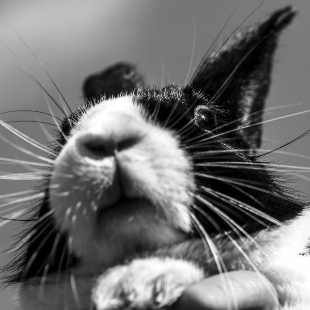 """Dutch rabbit"" stock image"