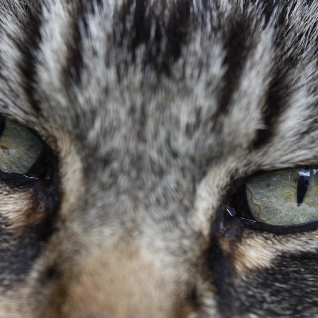 """""""Tabby cats eyes"""" stock image"""