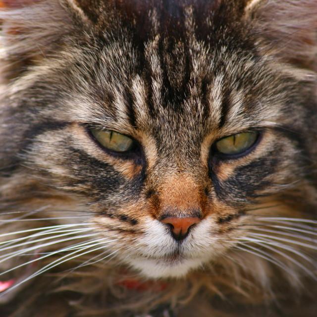 """Domestic tabby cat"" stock image"