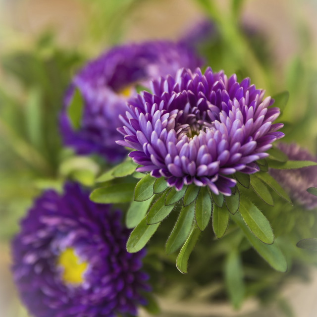 """""""Aster in a vase"""" stock image"""