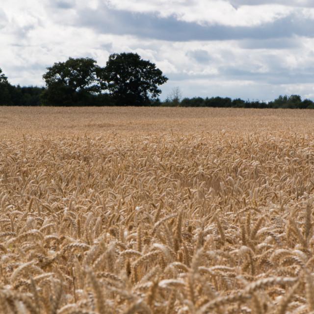 """Wheat fields"" stock image"