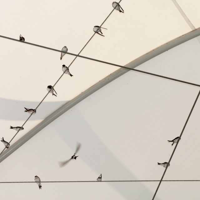 """House martins on wires"" stock image"
