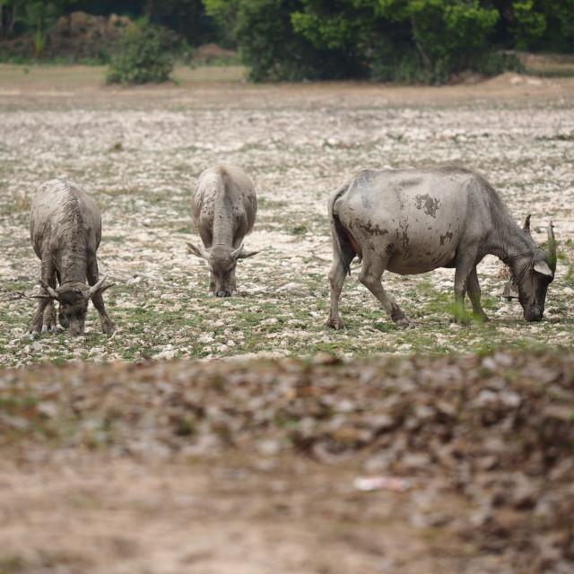 """Buffalo having dinner"" stock image"