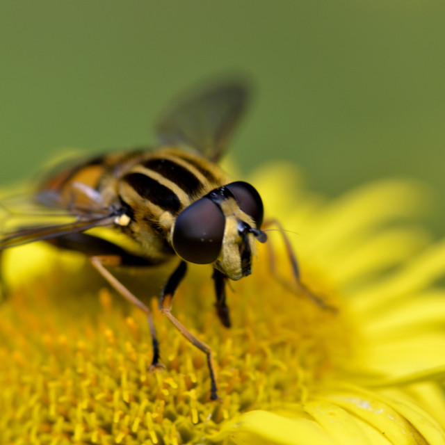 """""""A hoverfly"""" stock image"""