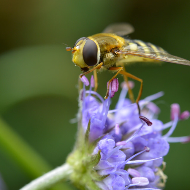 """A Hoverfly"" stock image"