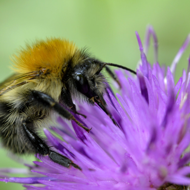 """""""A Bumble bee"""" stock image"""