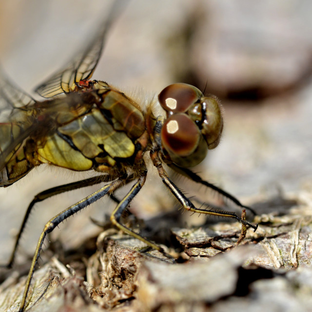 """""""A Dragonfly"""" stock image"""