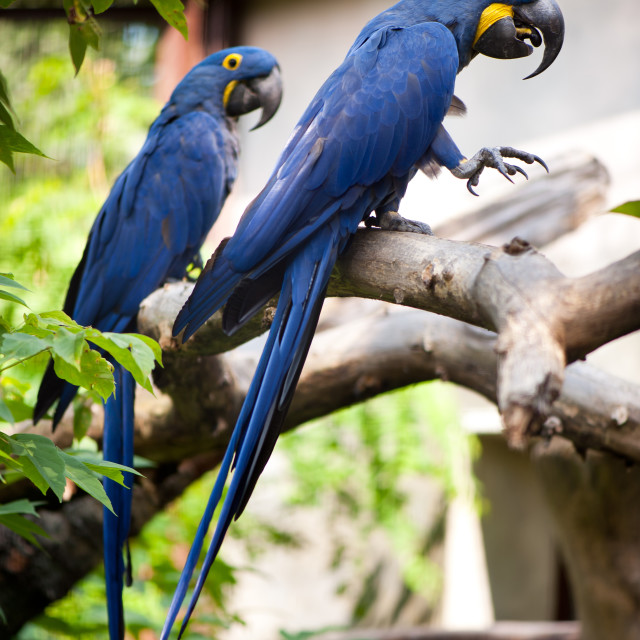 """Ara birds Anodorhynchus Hyacinthinus"" stock image"