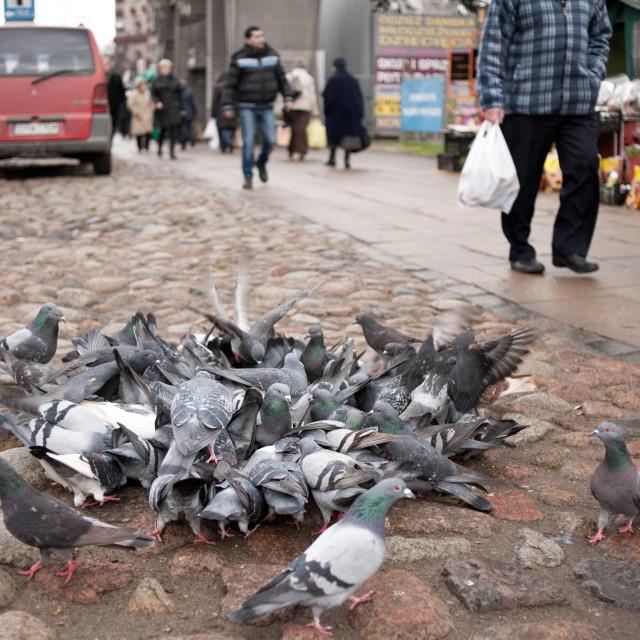 """City grey pigeons feeding"" stock image"