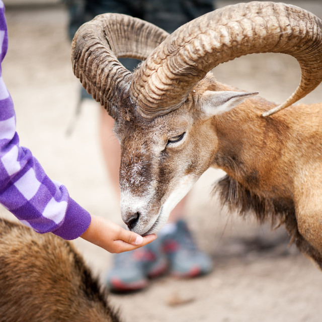 """Child hand feed old mouflon"" stock image"