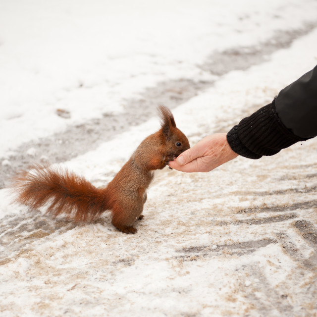 """Man feeding hungry squirrel"" stock image"