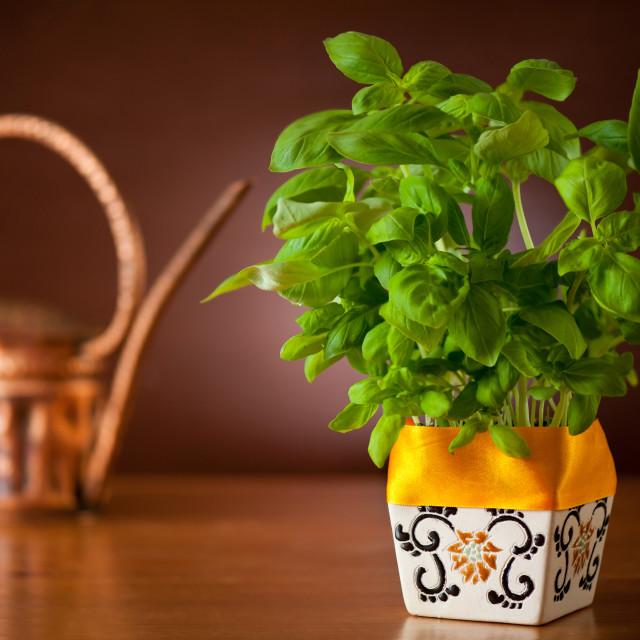 """Ocimum basil plant in flowerpot"" stock image"