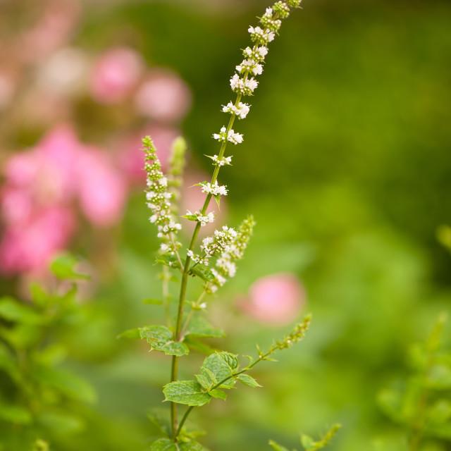 """""""Melissa officinalis flowering"""" stock image"""