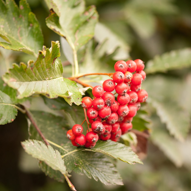 """Sorbus intermedia red fruits"" stock image"