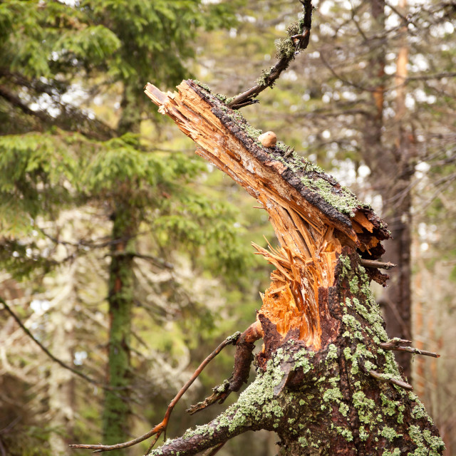 """""""Rotted trunk collapsed"""" stock image"""