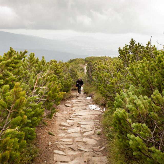 """""""trekking in Pinus mugo"""" stock image"""