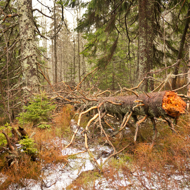 """""""Collapsed trunk in Babia Gora"""" stock image"""