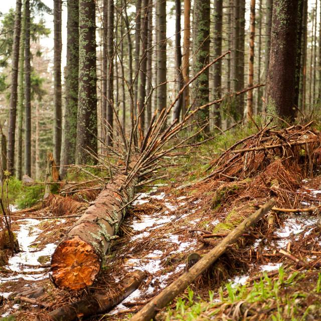 """collapsed tree in Babia Gora"" stock image"