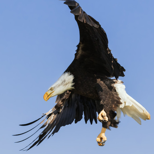 """Bald Eagle focused on the spot"" stock image"