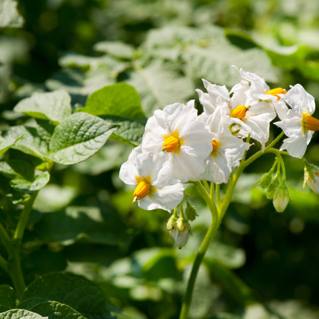 """Many potato white flowers"" stock image"