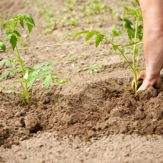 """Woman planting tomato seedlings"" stock image"