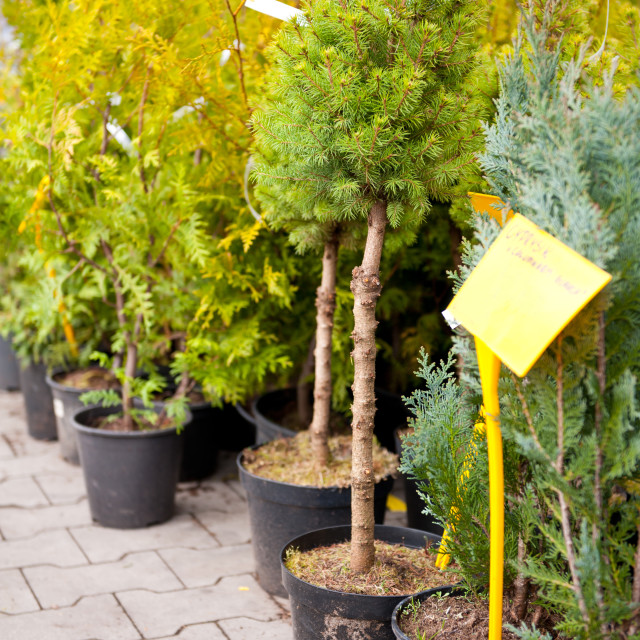 """coniferous little trees in market"" stock image"