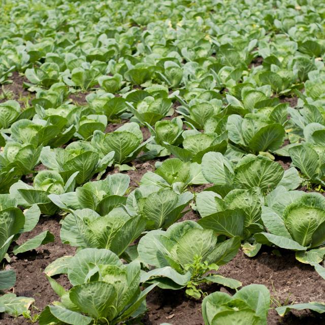 """Brassica oleracea cabbage plants"" stock image"